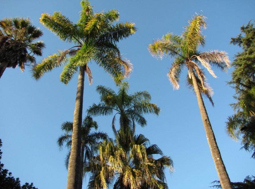 Invasão Biológica - Palmeira-australiana em regeneração