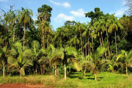 Planta Ameaçada de Extinção - Conheça o Palmito Juçara