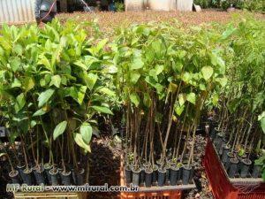 plantulas