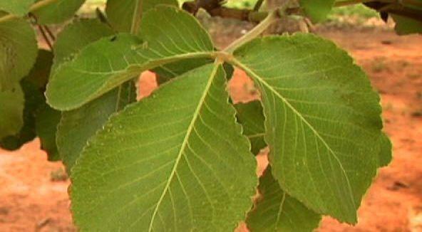Foto 13: Folhas do pequi. Fonte: Um pé de que?