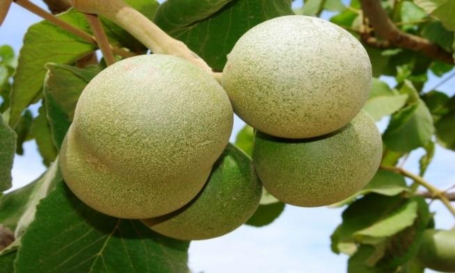 Foto 15: Fruto do pequi. Fonte: Coisas do Nordeste