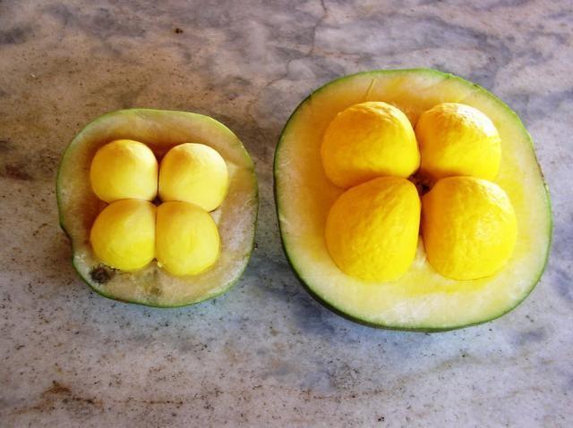 Foto 16: Fruto do pequi cortado ao meio. Fonte: Cia Ecológica