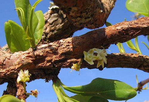Imagem: Inflorescência de Fonte: Jonasses Smlt E.suberosum. Fonte: Jonasses Sml