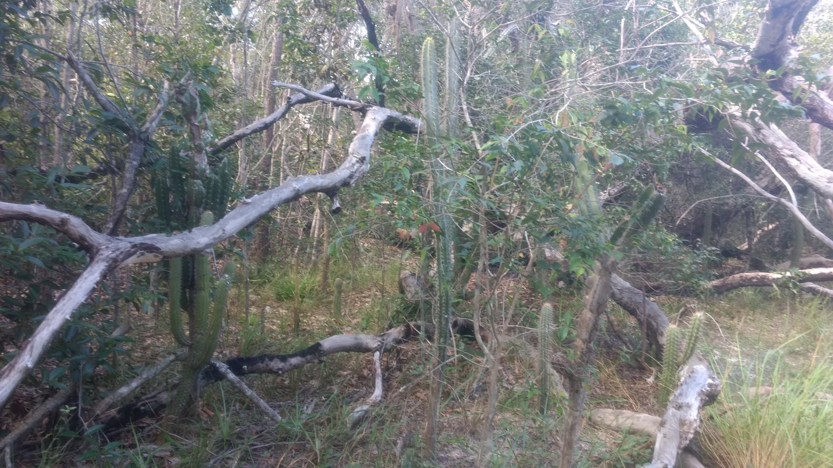 Figura 15 – Trecho de Cerrado denso (Savana Arborizada) em transição com a Caatinga no Parque Nacional de Sete Cidades, em Piripiri (PI). Na foto, as espécies típicas de Cerrado co-ocorrem com espécies características da Caatinga, como Cereus sp. (mandacaru) e Pilosocereus gounellei (xique-xique). Fonte: Arquivo pessoal.