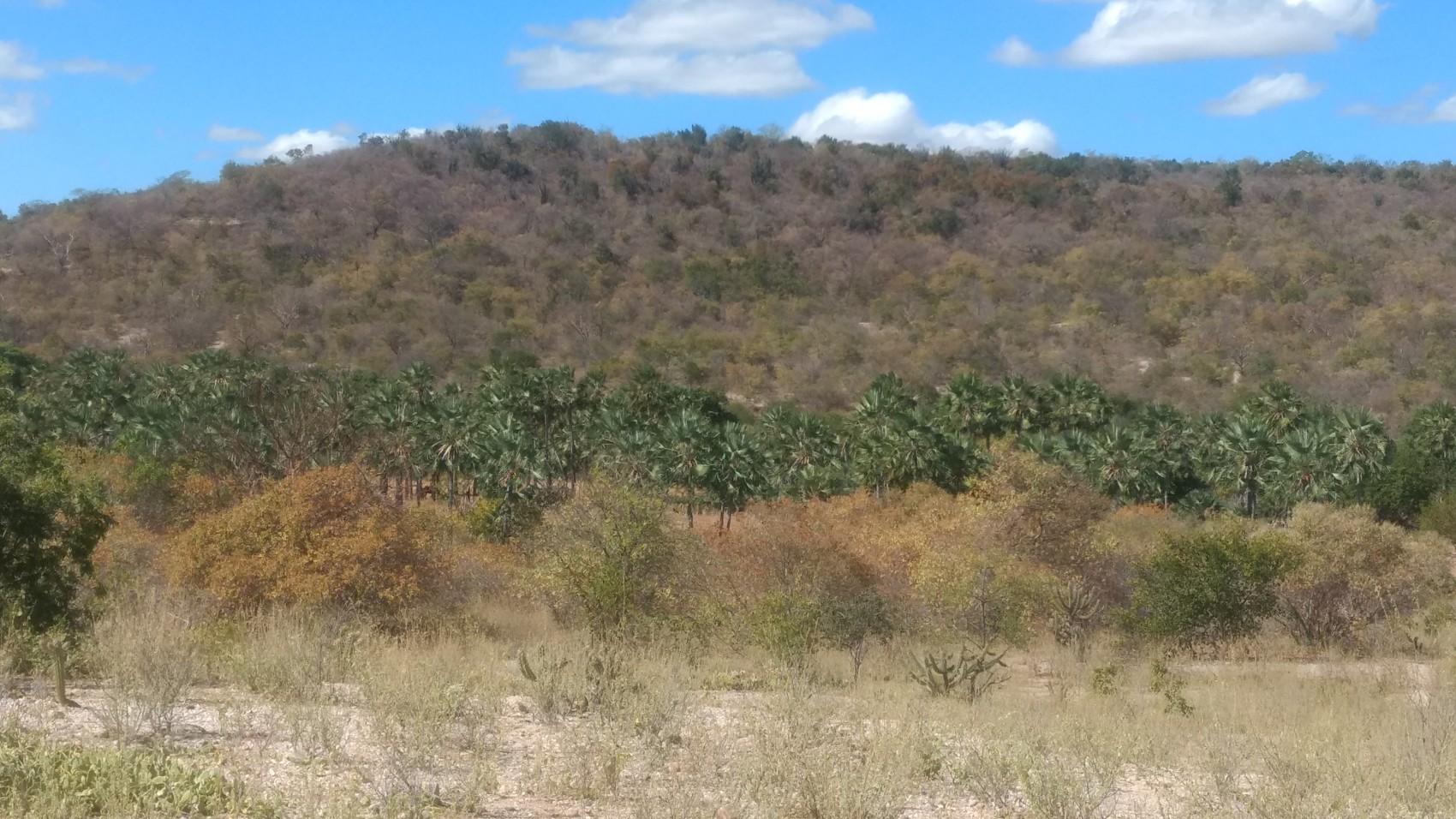 Figura 5 – Presença do carnaubal (formação com predomínio de Copernicia prunifera) ao longo de fundos de vale com o entorno caracterizado por Caatinga arbustiva, em Patos do Piauí (PI). Fonte: Arquivo pessoal.
