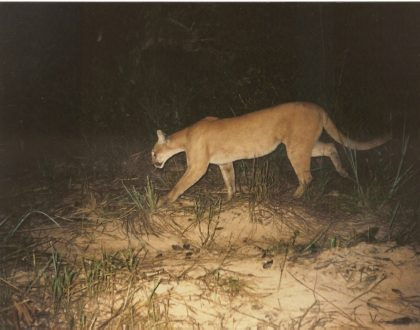 Fauna ameaçada registrada em áreas de cerrado em restauração