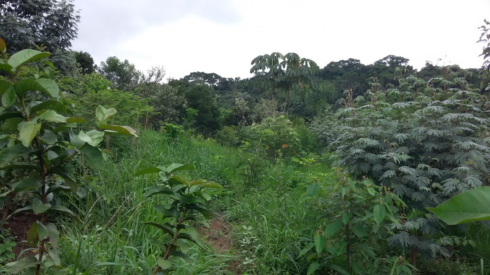 Foto 2 – Plantio compensatório de restauração da cobertura vegetal nativa em Santa Isabel, SP, no domínio Mata Atlântica.