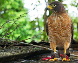 Gavião aves Fauna Brasileira