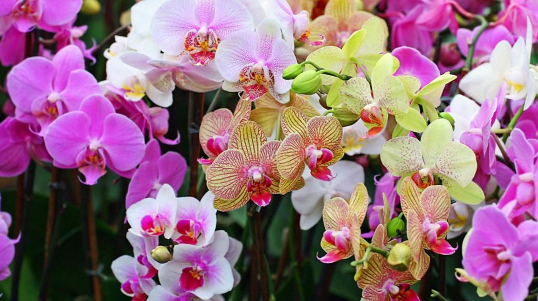 Como Identificar Orquídeas - Tipos de Crescimento de Orquídeas