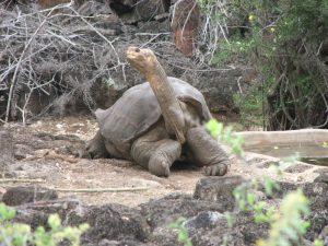 Tartaruga centenária consegue salvar sua espécie da extinção