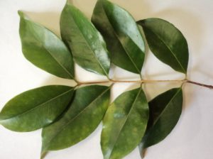 folhas simples e opostas