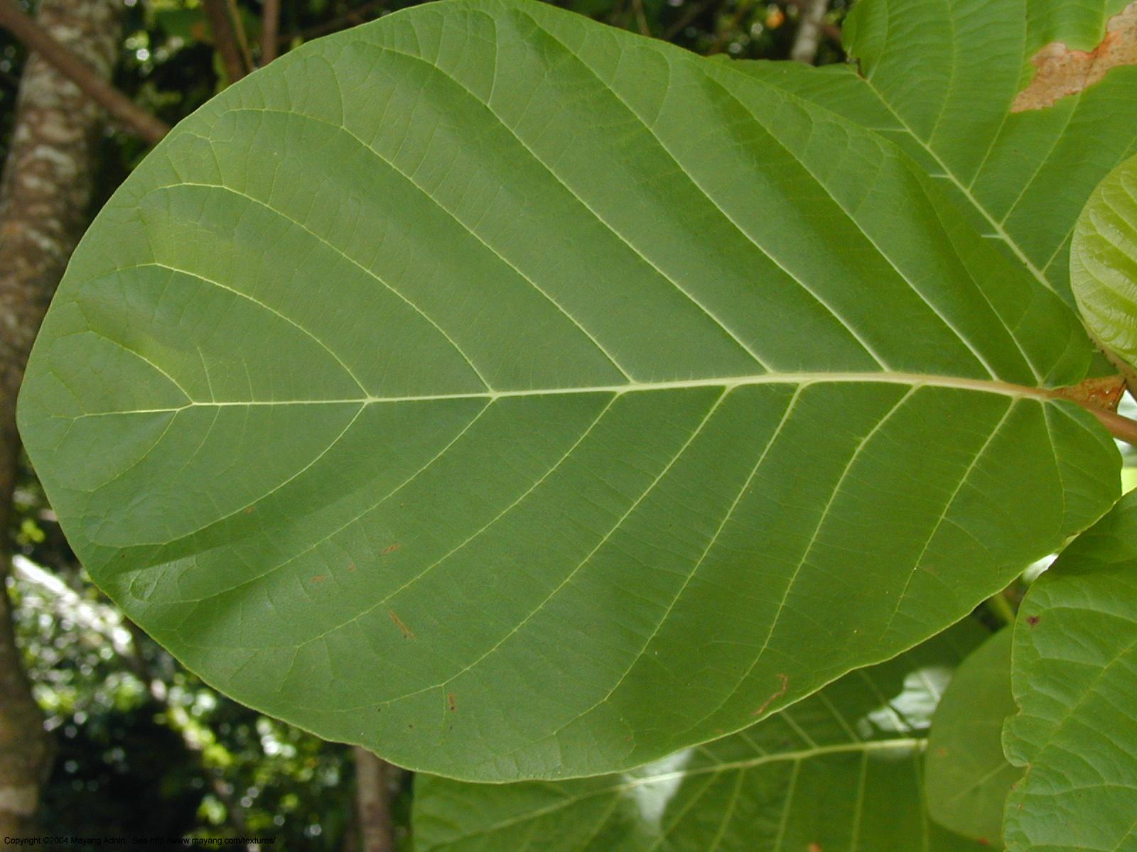 Folhas simples e compostas