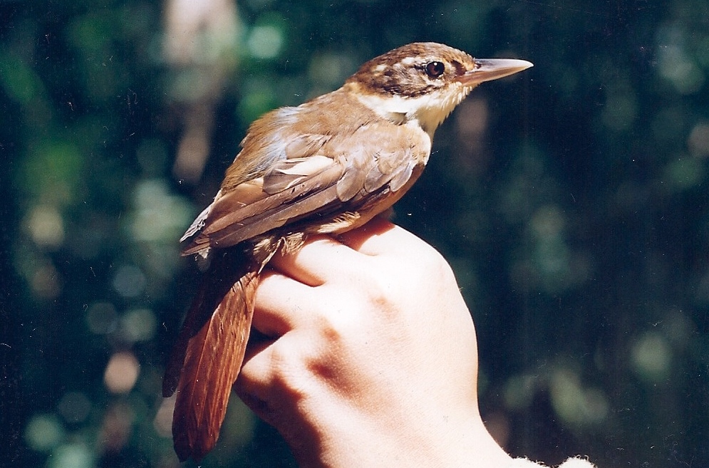 Os ciclos das taquaras e as aves na Mata Atlântica