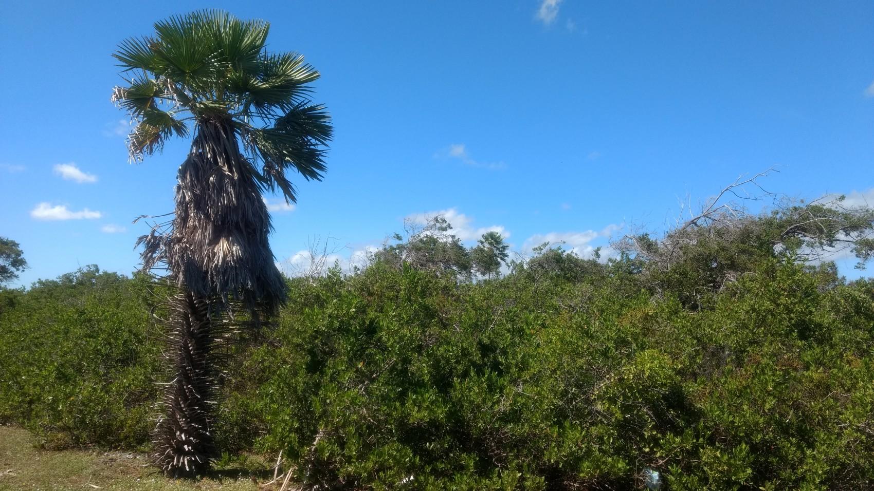 """Figura 19 – Formação com predomínio de arbustos (""""arbustaria"""") em Luís Correia (PI) com amplo predomínio de Conocarpus erectus (Combretaceae) e Ximenia americana (Olacaceae). Fonte: Arquivo pessoal."""