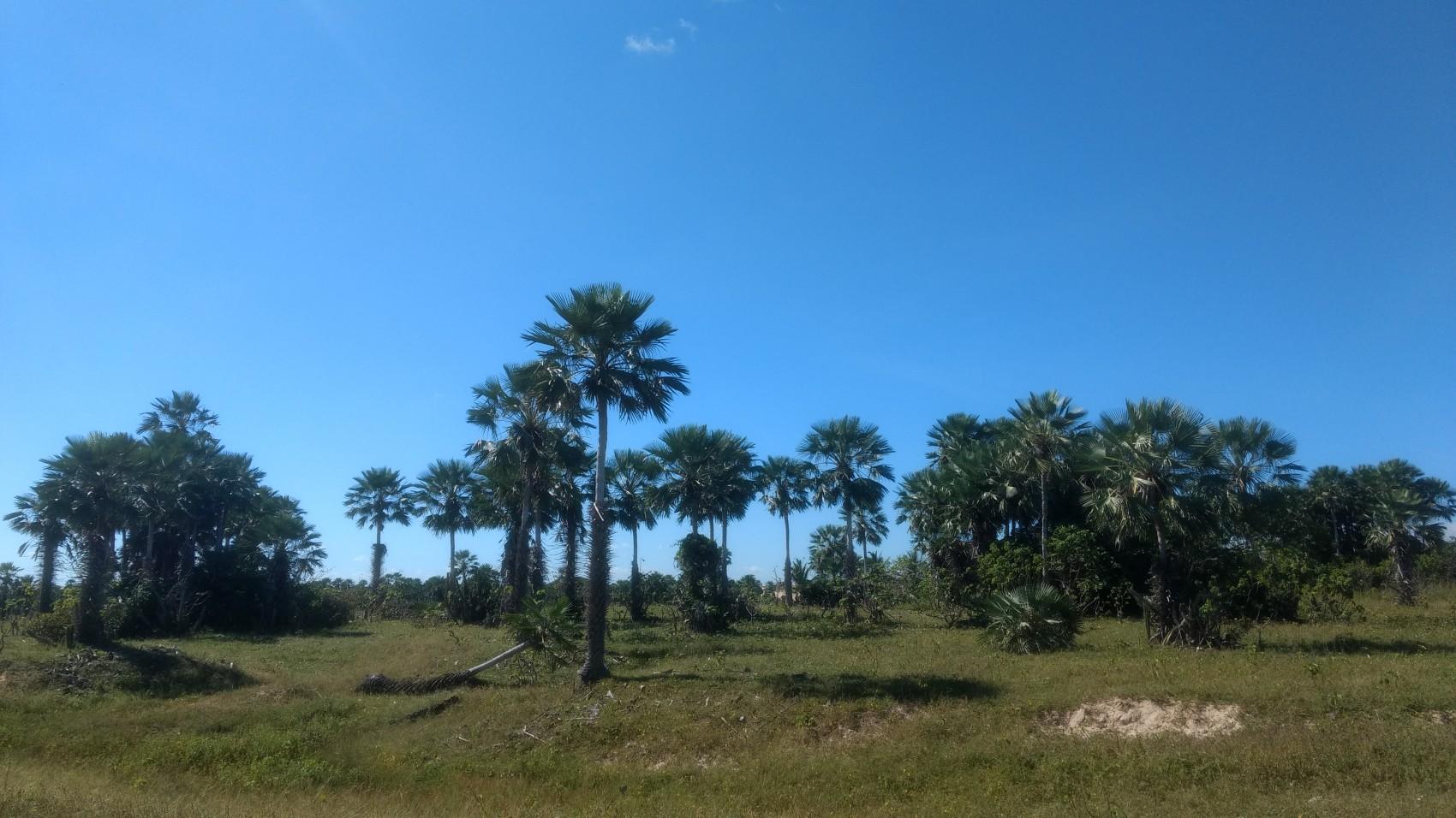Figura 20 – Carnaubais típicos no litoral do Piauí em Barra Grande, PI. Fonte: Arquivo pessoal.