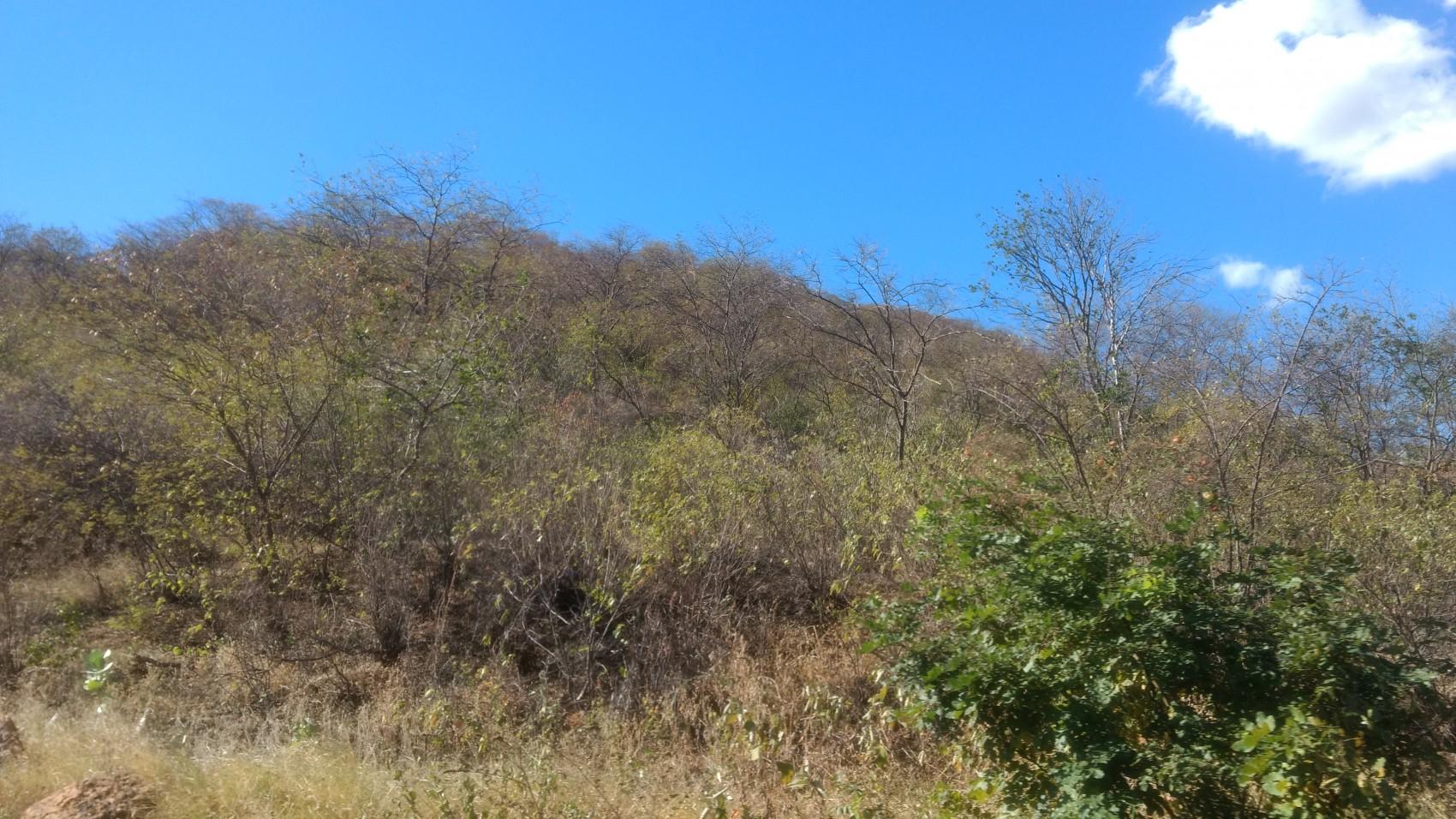 Figura 6 – Vegetação de transição Cerrado/Caatinga em Picos, PI. Em primeiro plano, Caryocar coriaceum (pequiá), uma espécie típica dos Cerrados. Ao fundo, Caesalpinia pyramidalis (catingueira), Mimosa spp. (juremas) e Jatropha mollissima (mandioca-brava), espécies típicas da Caatinga. Fonte: Arquivo pessoal.