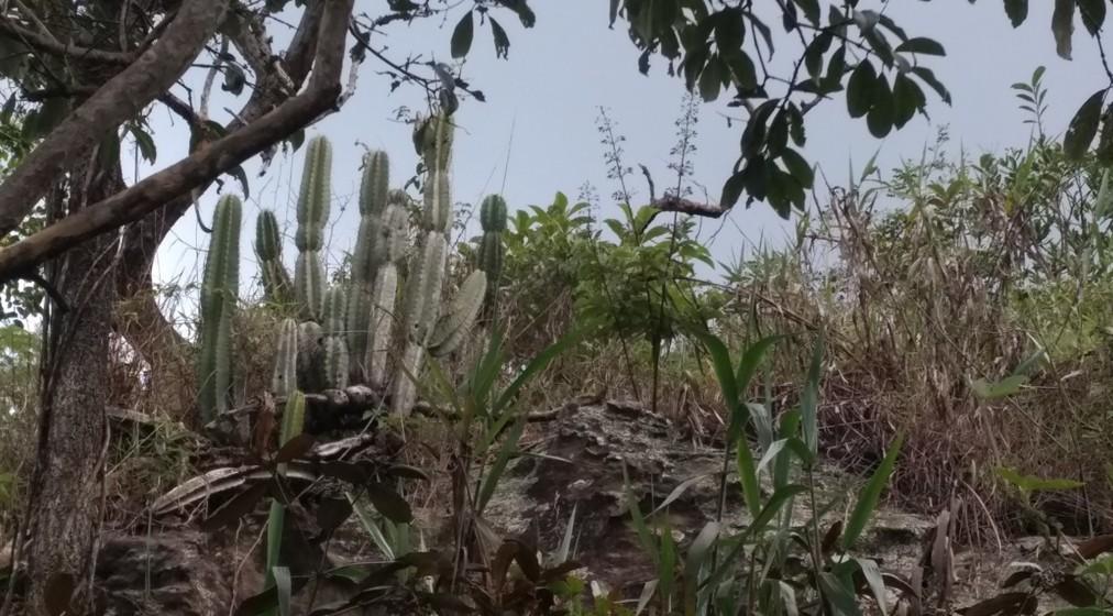 Cereus hildmannianus (mandacaru)