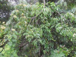jacarandá-cipó