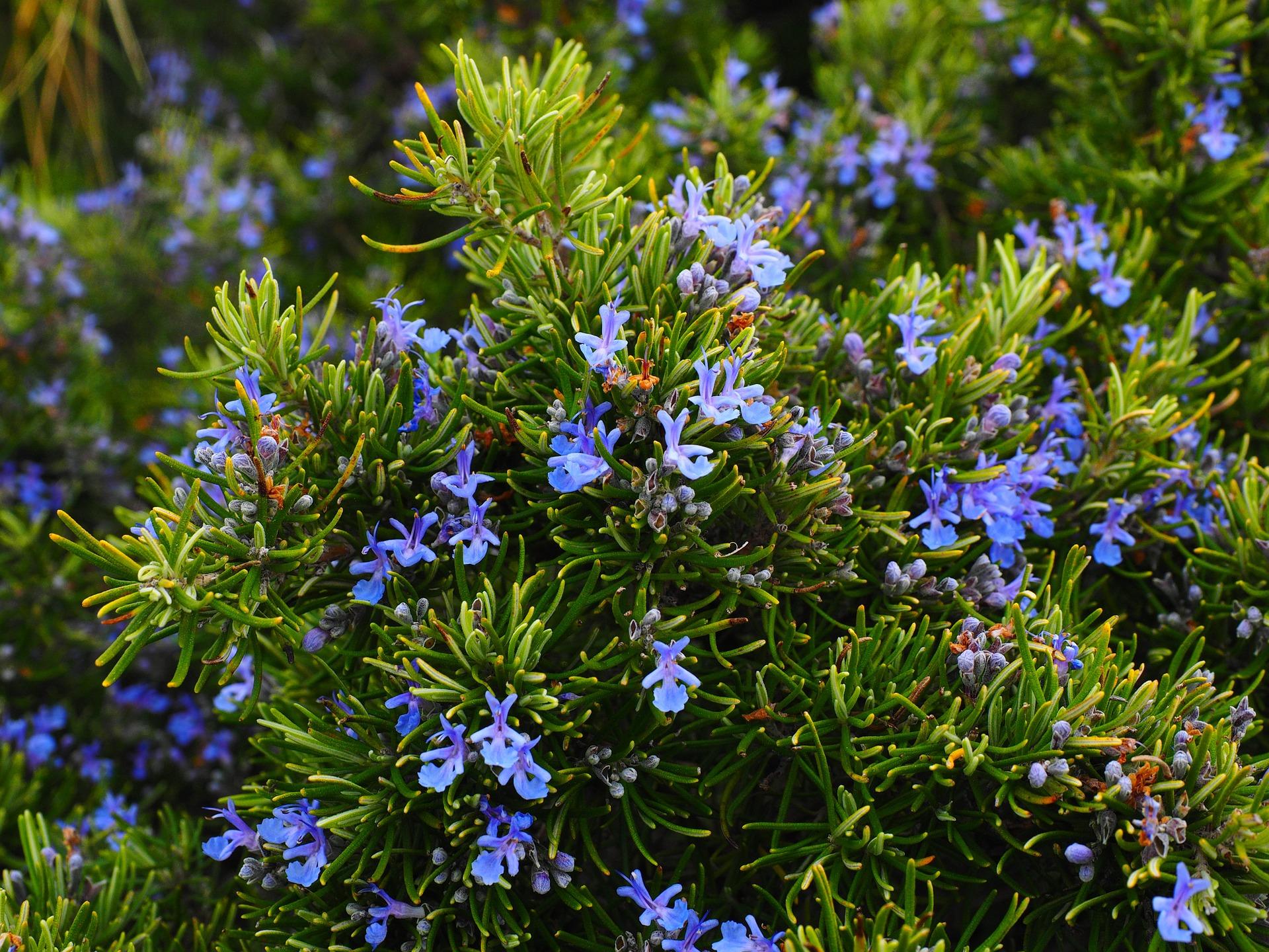 alecrim com flores azuis - como controlar pragas em uma horta