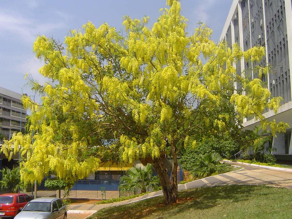Chuva-de-ouro, árvore da Mata Atlântica