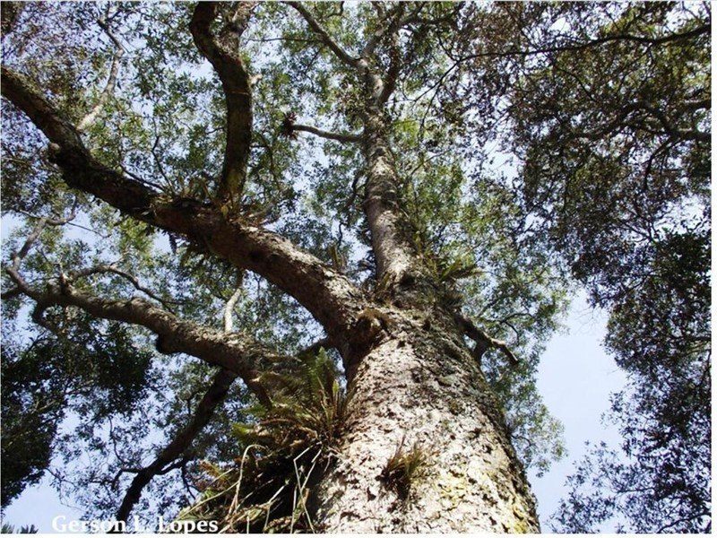 árvore canela-imbuia