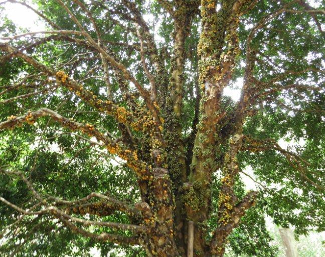 árvore abiu-de-leite